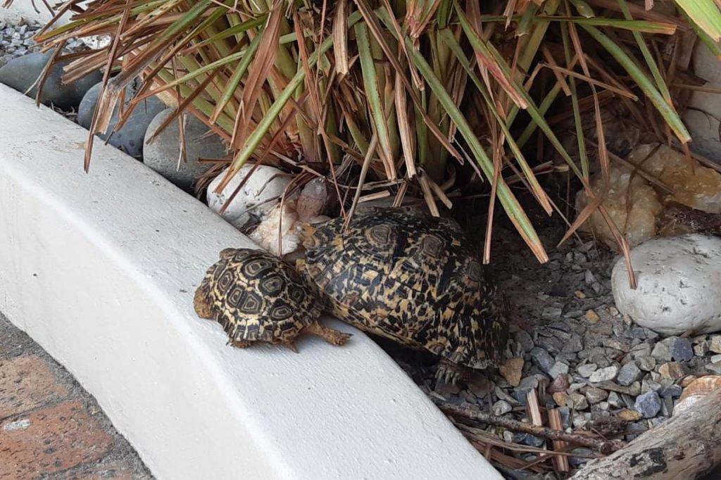 Kildare Baby Tortoises